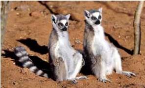 Ring Tail Lemurs enjoying the world