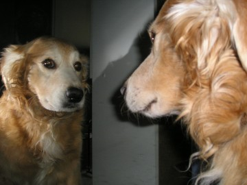 dog looking into a mirror
