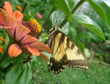 butterfly-folded